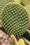 close-up-of-glochids-opuntia-microdasys